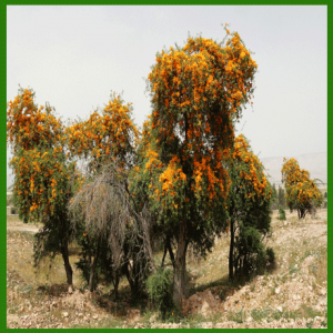 30  بذرة من بذور شجرة الفرفارة